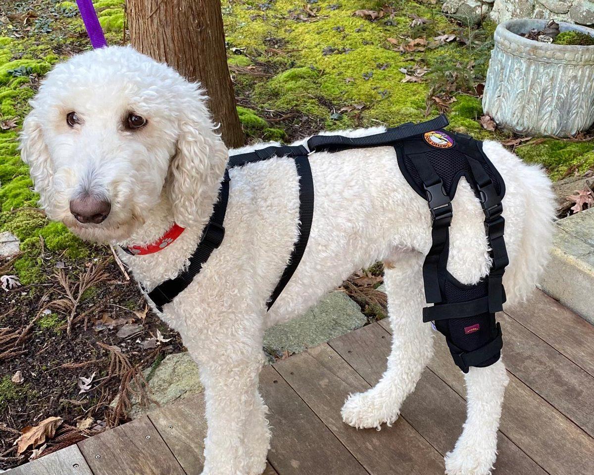 Poodle wearing Cruciate Care Knee Brace