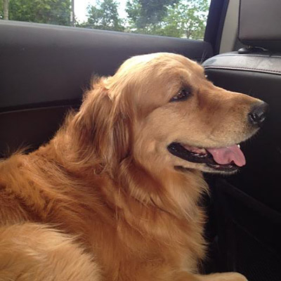 Tess the Golden Retriever recovers from ACL injury