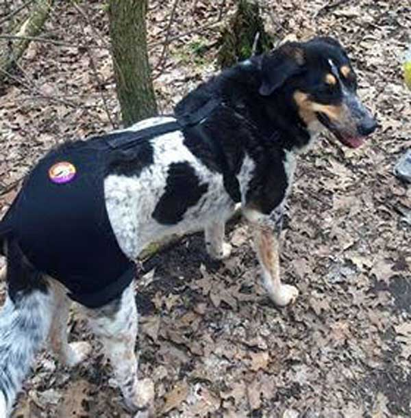 Mindy the Border Collie wearing hip hound brace in woods