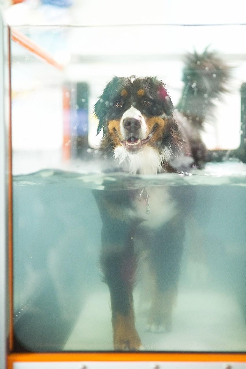Dog performing aquatic exercises for rehabilitation.