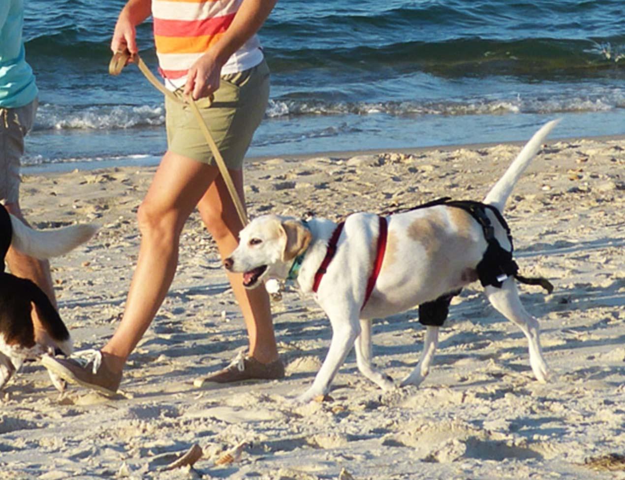 dog walking on beach with knee brace