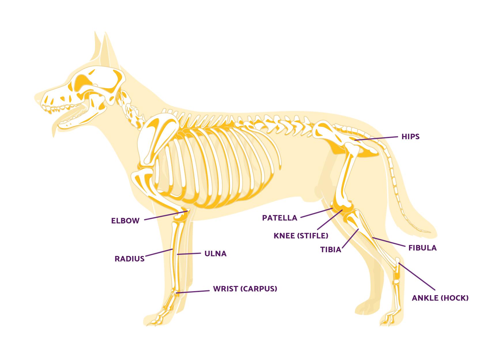 dog leg anatomy full
