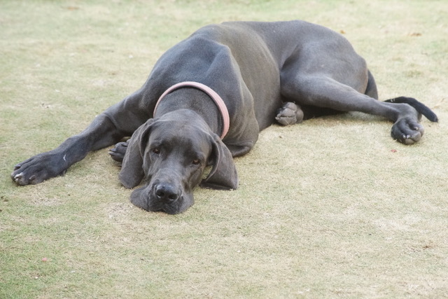 Glory the Great Dane struggling with a torn ACL.