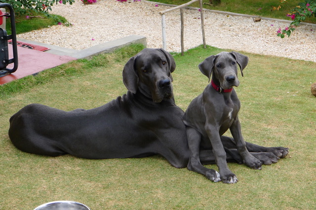 Glory the Great Dane hanging with pal Xari after recovering from torn ACL.