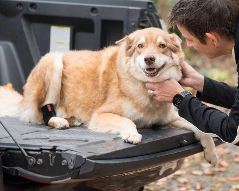 Ortho Dog's Hock Holder dog hock brace