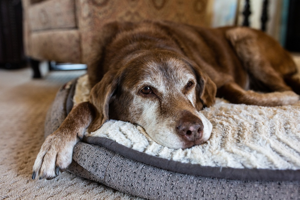 old dog laying down on dog bed.