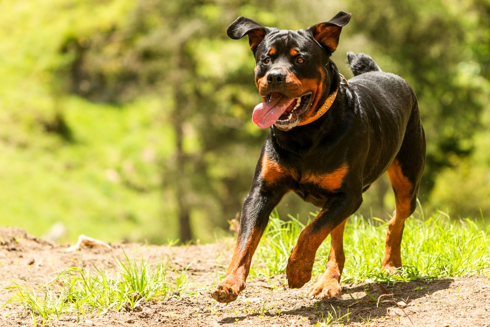 dog exercising.